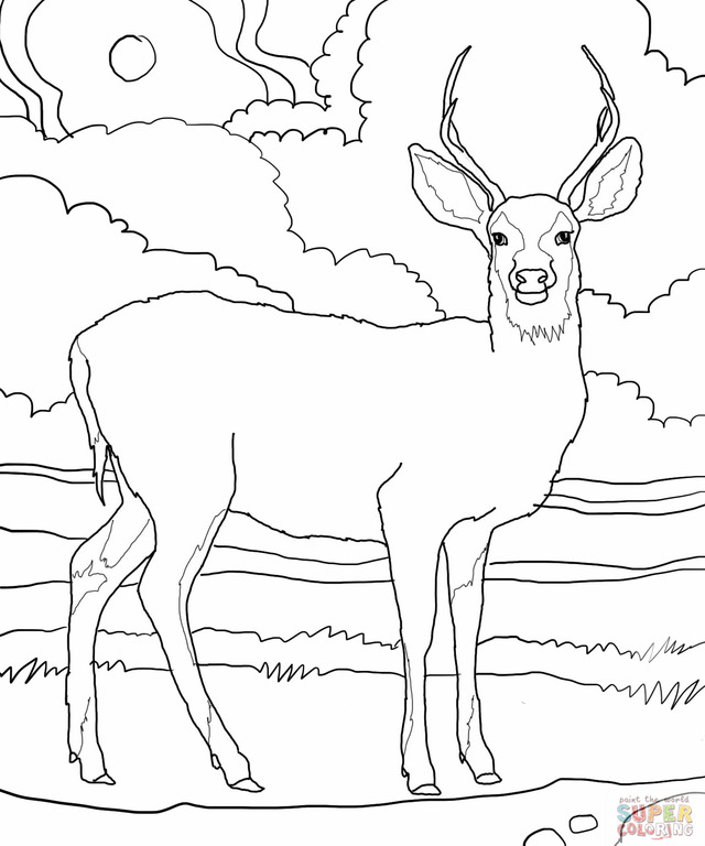 white tailed deer coloring pages - photo#5