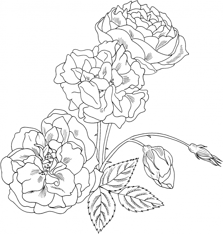 Gul Boyama Sayfalari Gul Boyama Resimleri Rose Coloring Pages