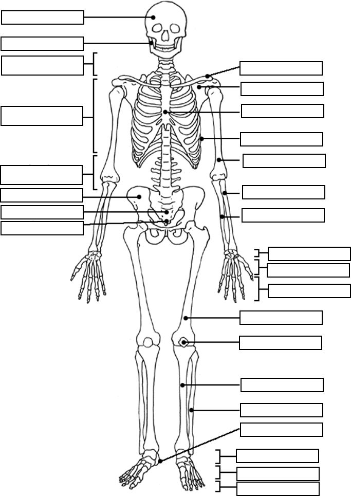 skeletal system coloring pages