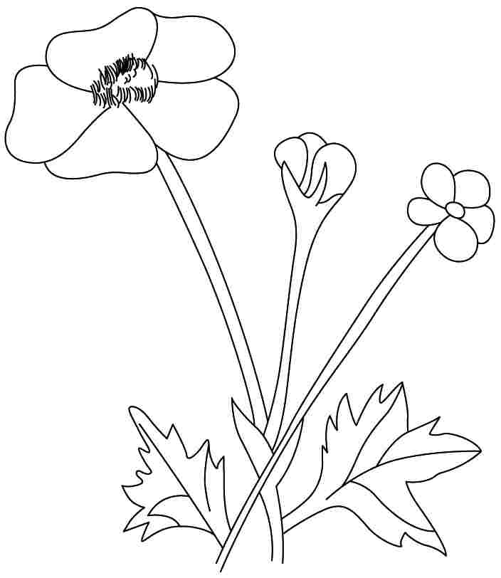 Buttercup flowers coloring pages free for kids for Buttercup flower coloring pages