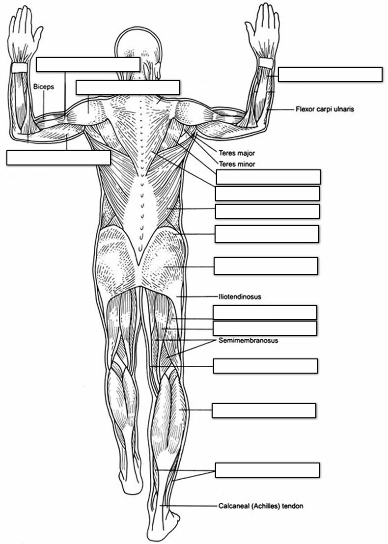 muscular system coloring pages - photo#8