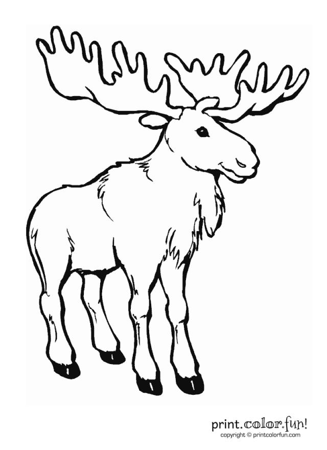 moose animal png 244779 moose coloring pages