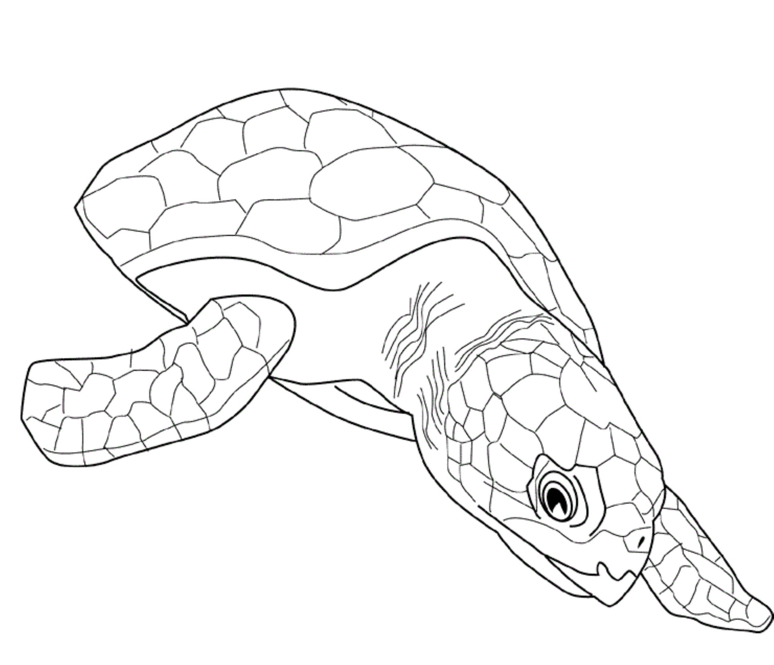 free coloring turtle pages - photo#35
