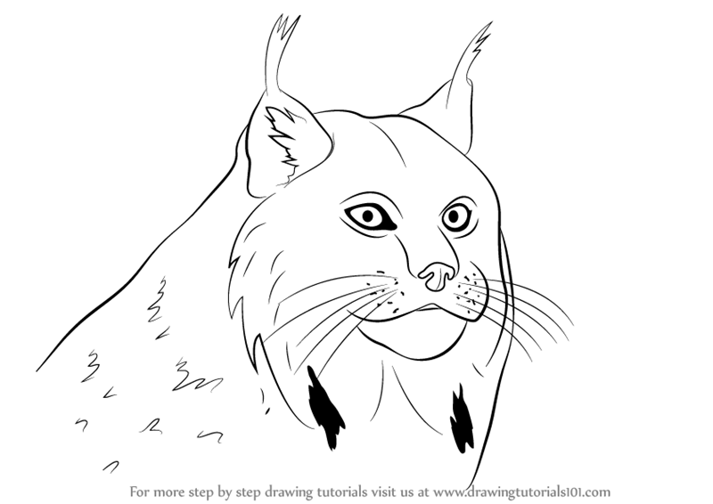lynx coloring pages for kids - photo#17