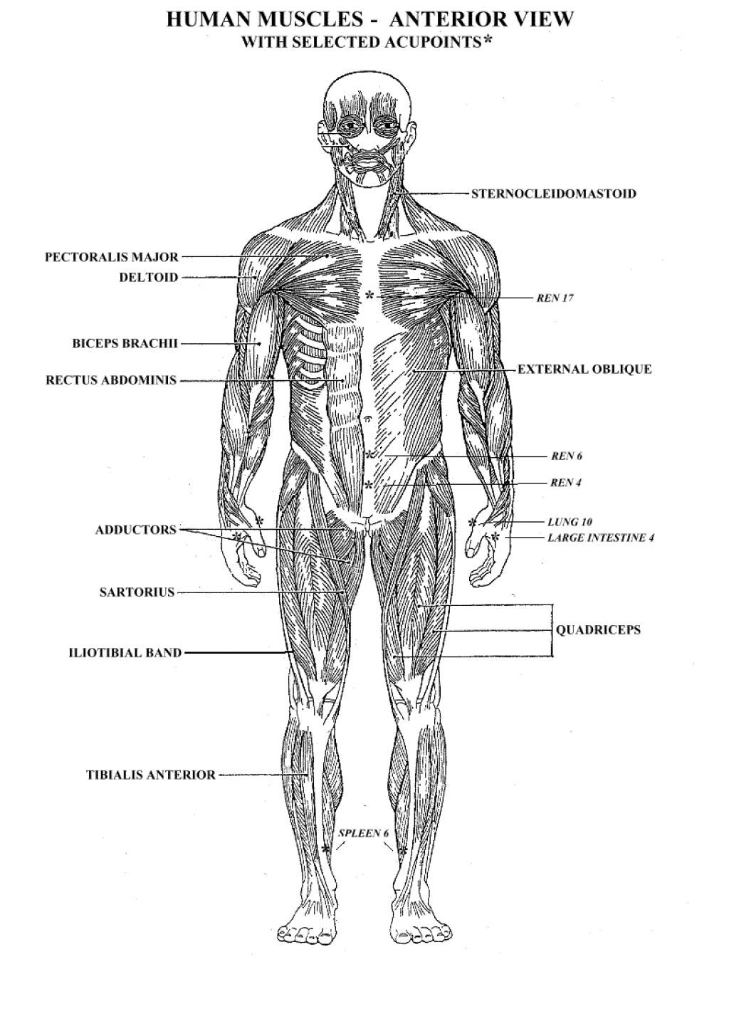 Anterior Muscles Anatomy Coloring Pages ColoringMusclesPrintable