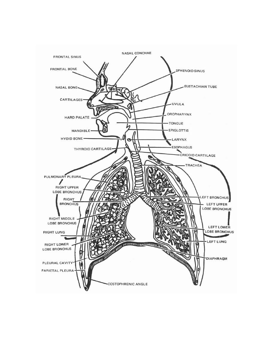 anatomy coloring pages of respiratory - photo#21