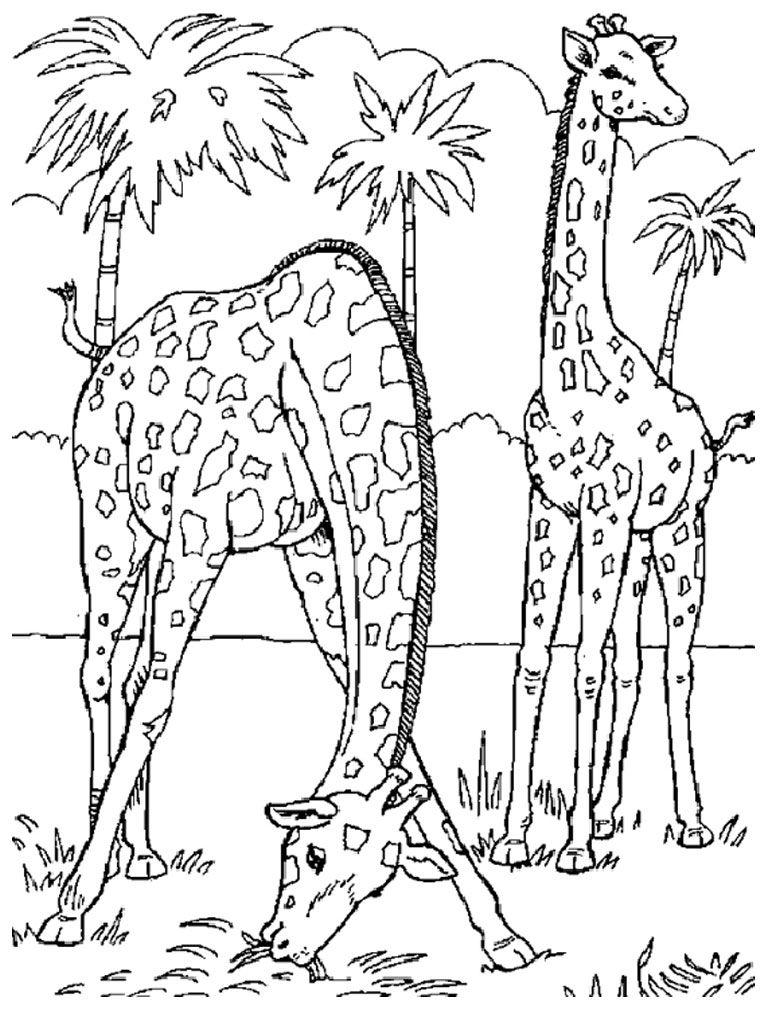 Free coloring page giraffe - Safari Giraffe Coloring Pages For Adults 114 Giraffe Coloring