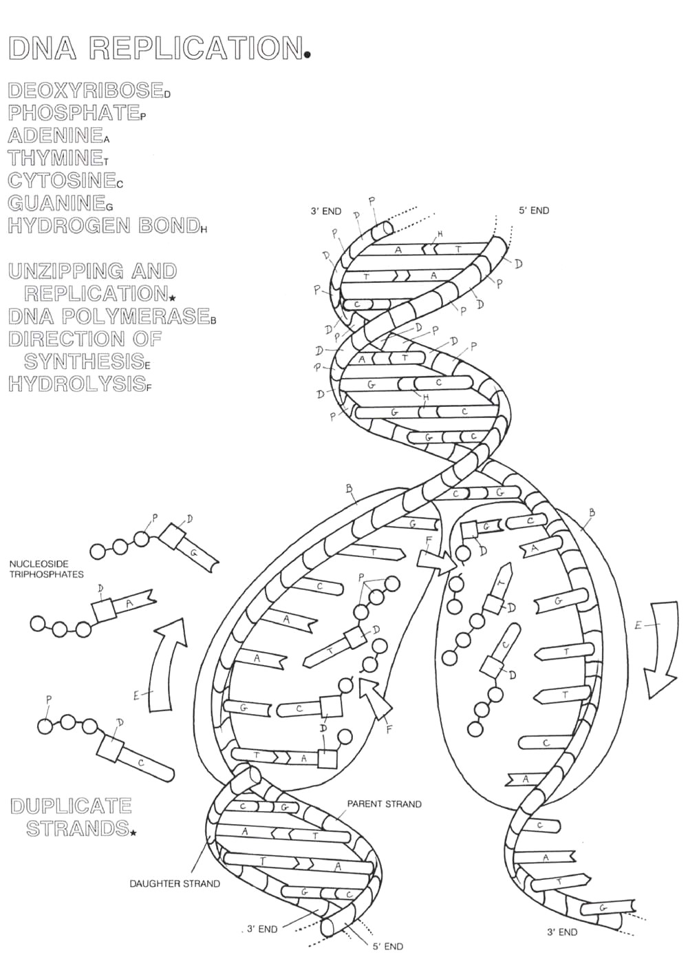 dna replication coloring page coloring home