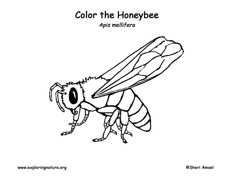 Bumble Bee Honey Coloring Page Honey Bee Coloring Pag...