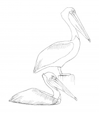 The David Sibley Birds Coloring Sheets | Brightly