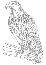 wedge-tailed eagle Colouring Pages