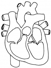 circulatory system coloring page