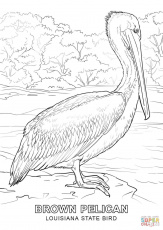 Louisiana State Bird coloring page: Brown Pelican