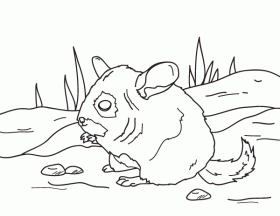 Chinchilla coloring pages