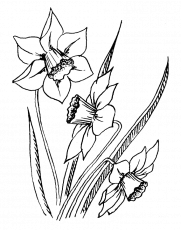Daffodil Flower Coloring Page - Best Flower Wallpaper