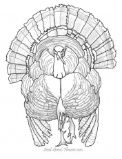 wild turkey coloring pages printable - free fall coloring pages with full color guides coloring