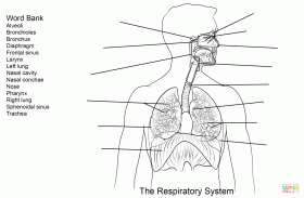 Respiratory System Worksheet coloring page | Free Printable ...