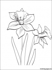 Daffodils or Jonquil coloring page | Coloring pages