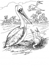 Free printable Pelicans coloring pages for kids. 1000+ best coloring page