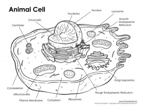 animal cell coloring page coloring page view larger image. cell ...