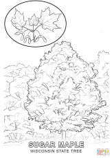 Wisconsin State Tree coloring page | Free Printable Coloring Pages