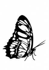 BUTTERFLY coloring pages - West coast butterfly
