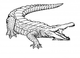 Crocodile Drawings For Kids Coloring Page