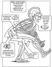 Bone Joints, Bones Coloring, Bones Free, Bone Names, Facts Humanbody, Anatomy And Physiology Bones, Bones Facts - Amsti human body