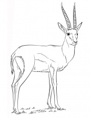 Coloring pages: Coloring pages: Gazelle, printable for kids & adults, free