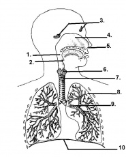The Respiratory System: An Interactive Activity | Respiratory ...