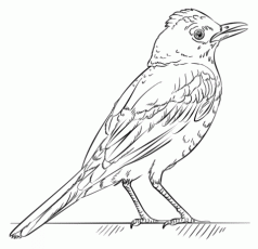 Red Robin coloring page | Free Printable Coloring Pages