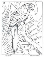 macaw coloring pages, birds coloring | Rainforest animals