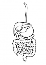 Coloring page digestive system - img 9492.