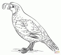 quail coloring pages