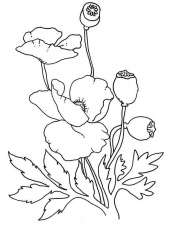 Lovely Poppy Drawing Coloring Page | Color Luna