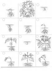 different life stages of a plant coloring page