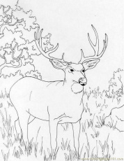 Coloring Pages Muledeer (Mammals > Deer) - free printable coloring