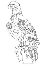 Wedge tailed eagle coloring page | Download Free Wedge tailed
