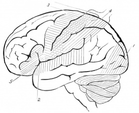 Human Brain Coloring Pages Amp Pictures IMAGIXS