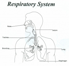 Respiratory System Unlabeled - Human Anatomy Diagram