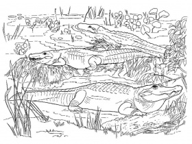 16 Free Pictures for: Crocodile Coloring Pages. Temoon.us