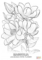 Louisiana State Flower coloring page: Magnolia