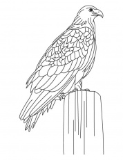 Largest golden eagle coloring page | Download Free Largest golden